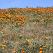 tons of poppies